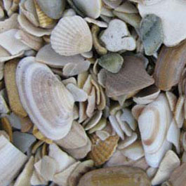 Coquina Shells